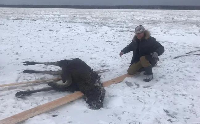 Нижегородцы спасли лося, провалившегося под лед Волги
