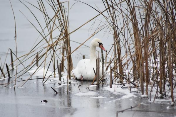 Один из трёх лебедей не может взлететь. Он ходит по льду уже несколько дней