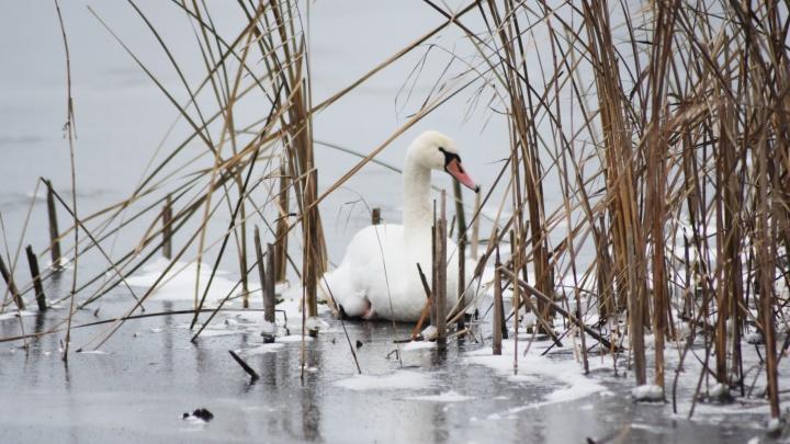 Спасатели ищут раненого лебедя на водоеме в Перевалово
