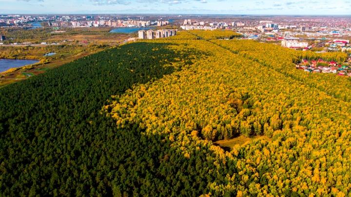Гигантские «брокколи» и деревья, как в LEGO: как выглядят осенние леса Тюмени с высоты 400 метров
