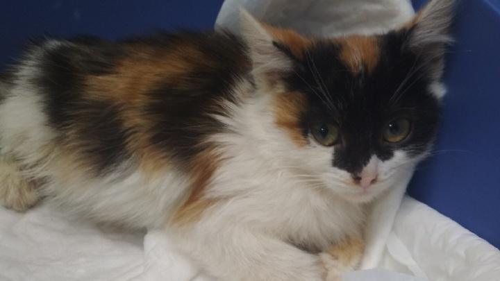 Лежала в сугробе с переломанным позвоночником. В Перми волонтеры спасают травмированную кошку