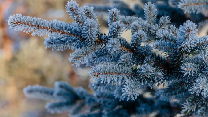 Почем деревья? В Прикамье начали выдавать разрешения на рубку елей для Нового года
