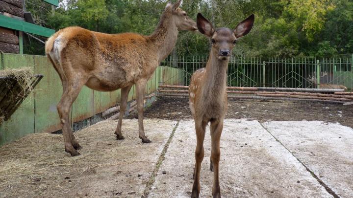 В зоопарке Омской области родились любопытные оленята с мокрыми носами
