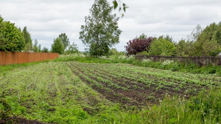 Россельхознадзор рассказал о запрете сажать картошку и огурцы в огородах