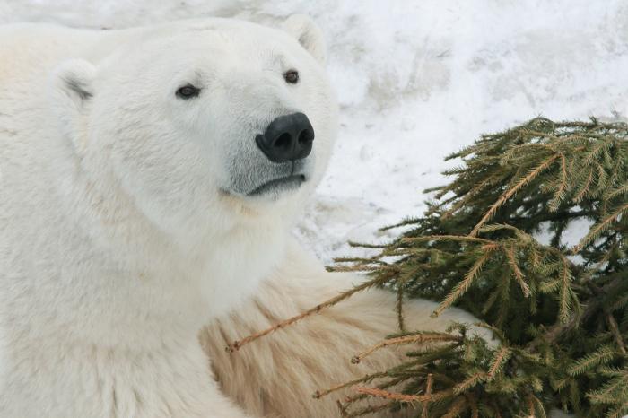 Белый медведь всем доволен