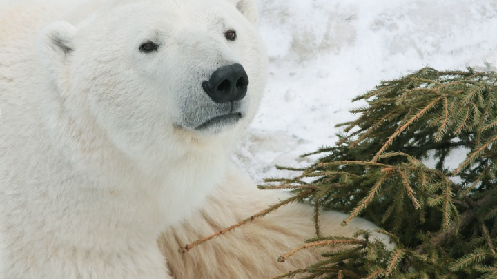 Белые мишки кайфуют: как переживают мороз звери в екатеринбургском зоопарке