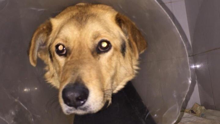 Волонтеры спасают двух псов, с которых наживую пытались снять шкуру