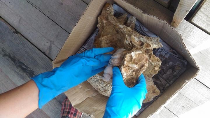 Череп вымершего носорога нашли в деревне под Красноярском