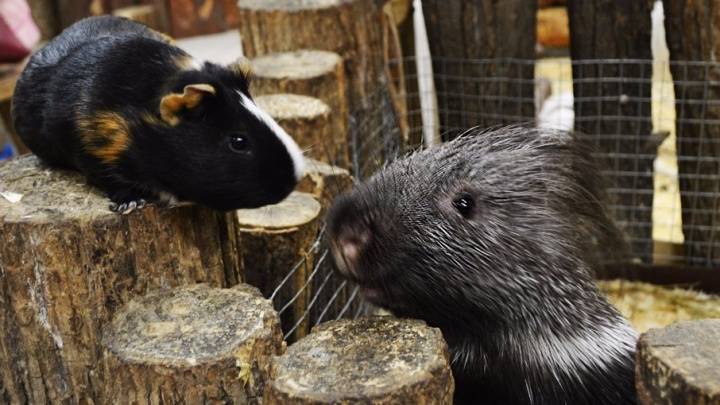 В уфимском контактном зоопарке подружились дикобраз и морская свинка