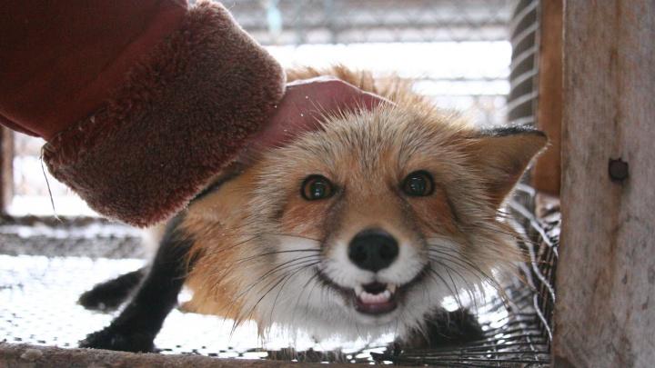 В Новосибирск привезли американскую книгу об эксперименте сибирских генетиков над лисами