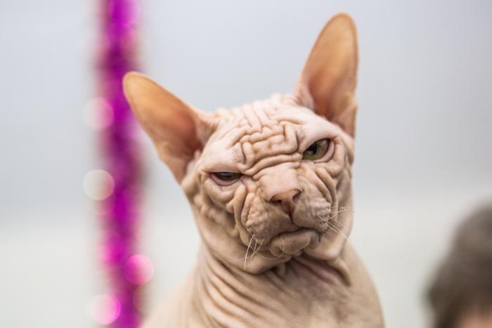 Новосибирцам показали лучших кошек Сибири