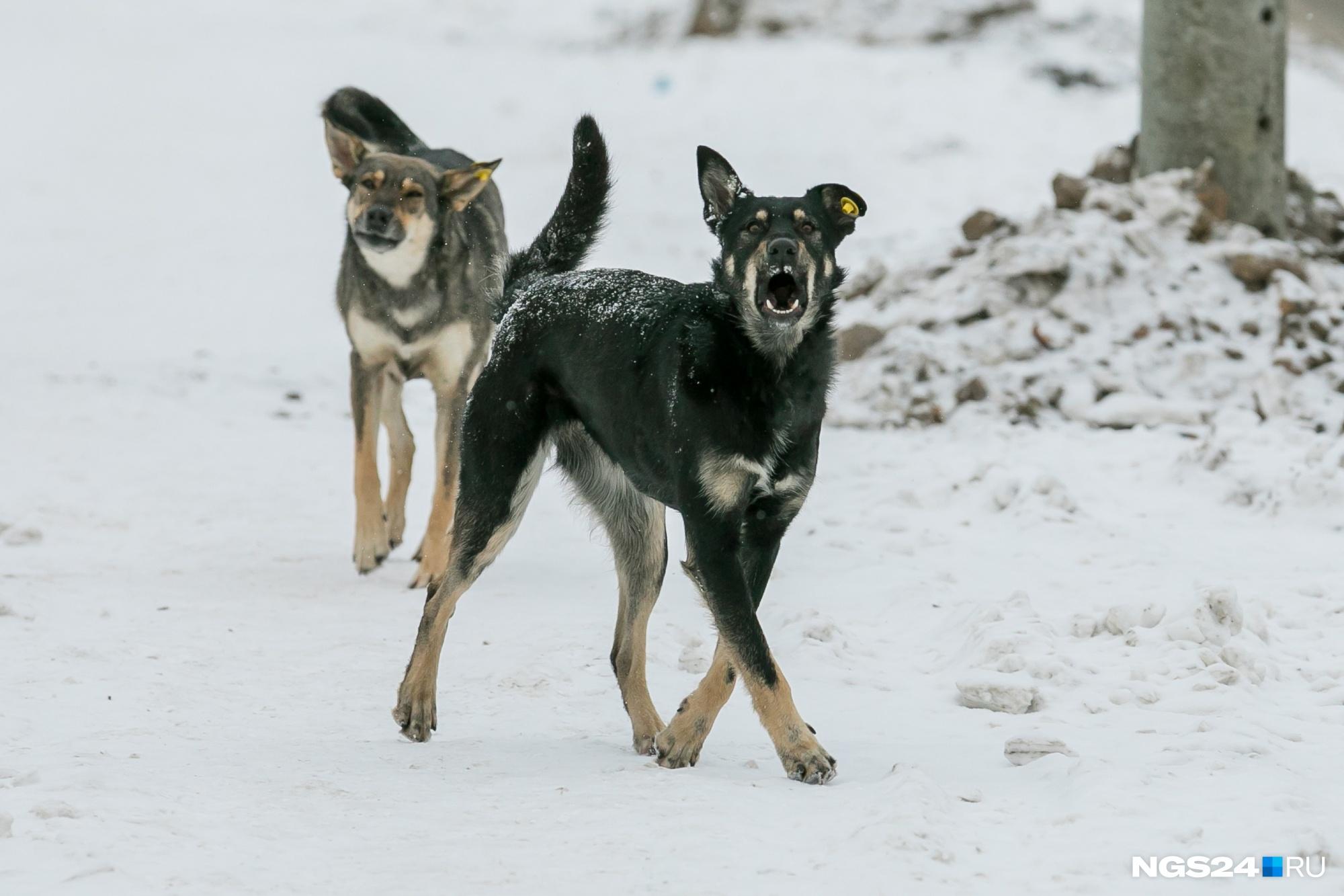 Прокуратура обвинила власти Красноярска в неэффективной работе по отлову собак