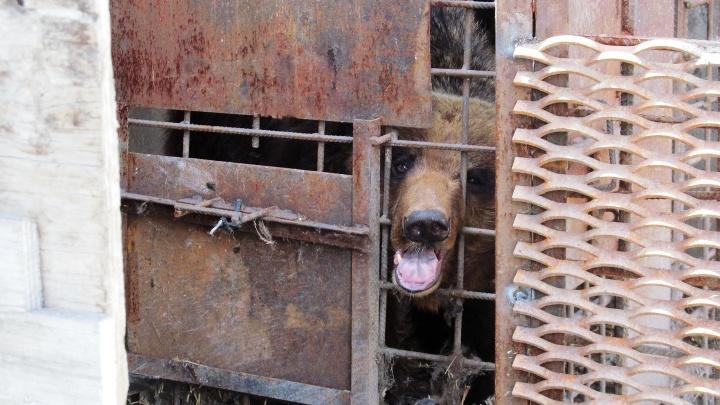 Появились фотографии медведя, который откусил руку омичу