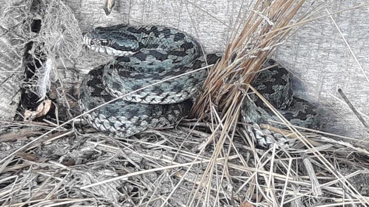Ядовитая гостья: в Сибае девушку напугала большая змея