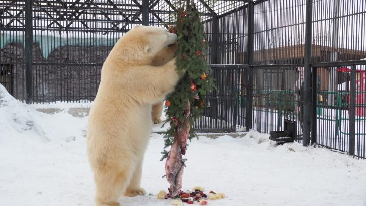 Белым медведям в зоопарке подарили на Новый год елку с красной рыбой и яблоками