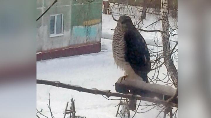 В Новосибирске заметили больших хищных птиц — они пожирают ворон и голубей