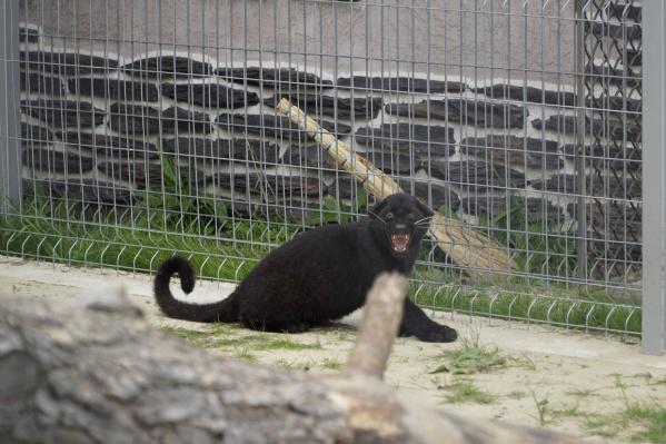Эта большая кошечка — ласковая, но характер покажет, если ей что-то не нравится