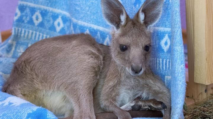 Сотрудники зоопарка стали приёмными родителями для кенгуру, красного вари и сенегальского галаго