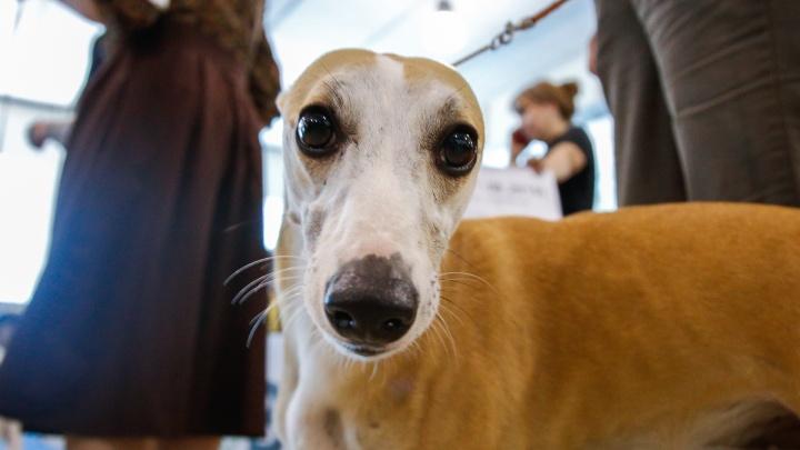 Милые, застенчивые, смешные: в Челябинск привезли тысячу породистых собак