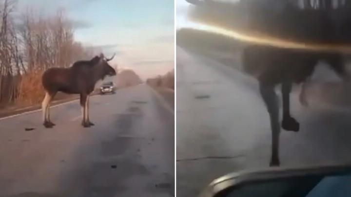 Выскочил как черт из табакерки: на трассе в Самарской области лось врезался в автомобиль