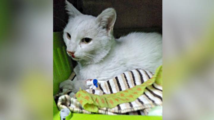 Подстрелили на районе: в Новосибирске ищут донора для кота с пулевым ранением