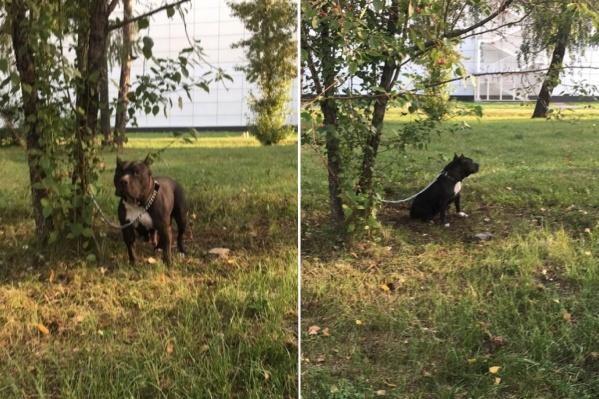 Собаку привязали к дереву в Гвардейском парке