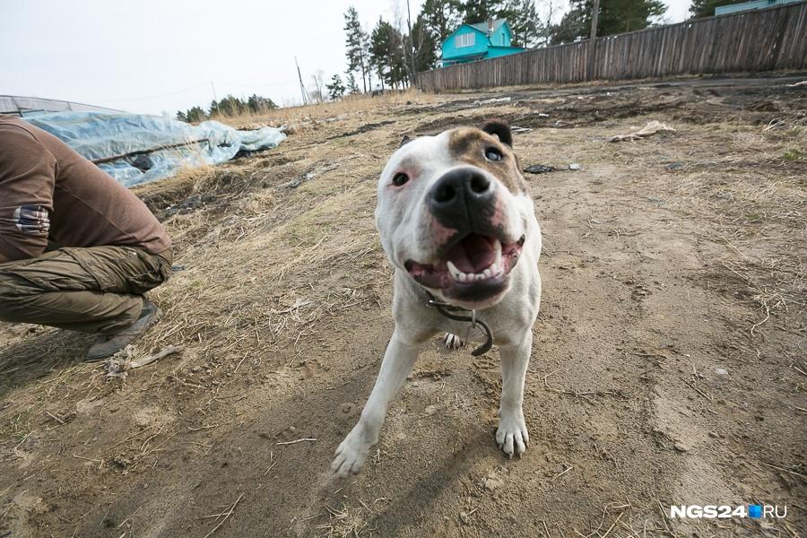 Гражданин Красноярска обнародовал фото сотрубленной головой собаки вруках