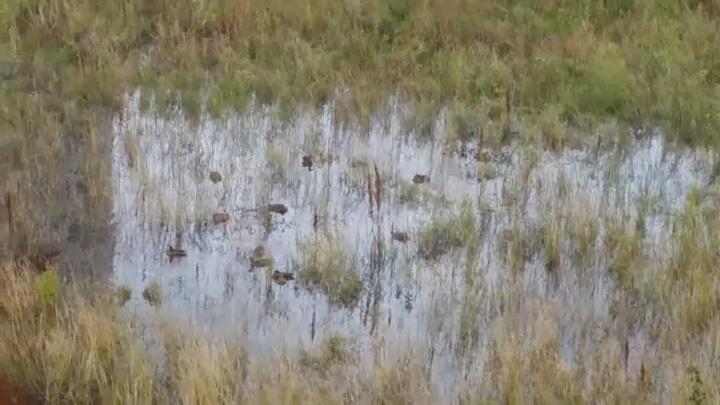 После проливных дождей под окнами тюменской многоэтажки поселились утки