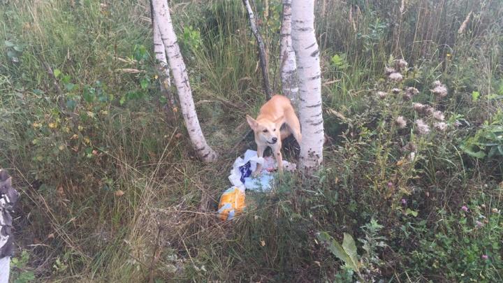 Привезли на такси и бросили умирать: в Ярославле хозяева жестоким образом избавились от собаки