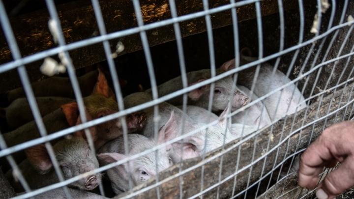 Скотская жизнь: в хозяйствах Зауралья свиньи живут и умирают не по правилам