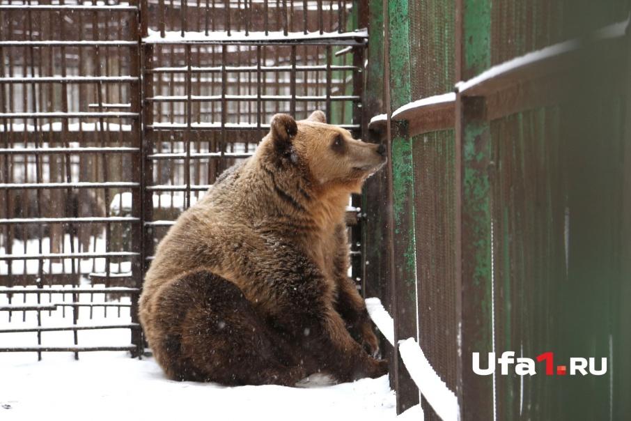 Медведица Настя готовится к зимней спячке