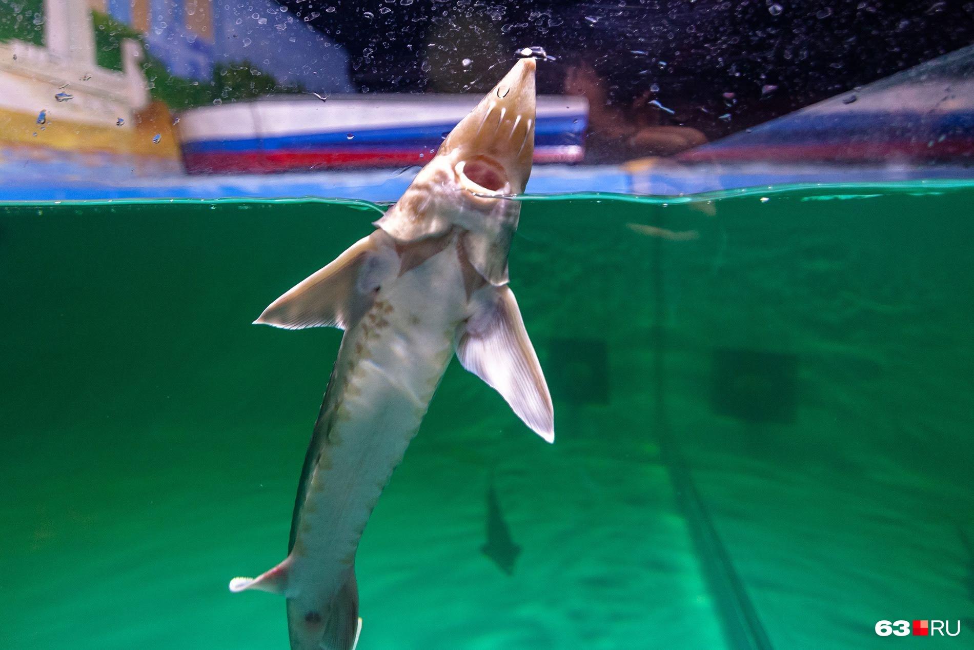 Кроме обитателей океанов, в аквариумах живут и речные рыбы