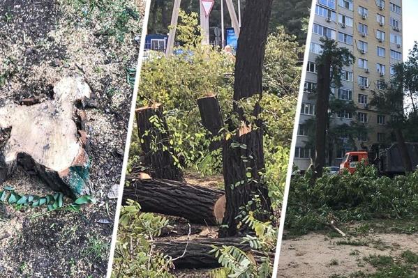 Под угрозой уничтожения не только аварийные, но и здоровые деревья
