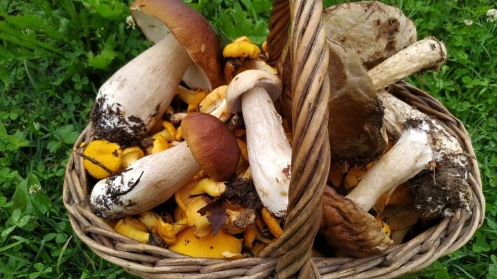 Памятка грибнику: корзинка советов от редакции 76.RU, где и как искать грибы в Ярославской области
