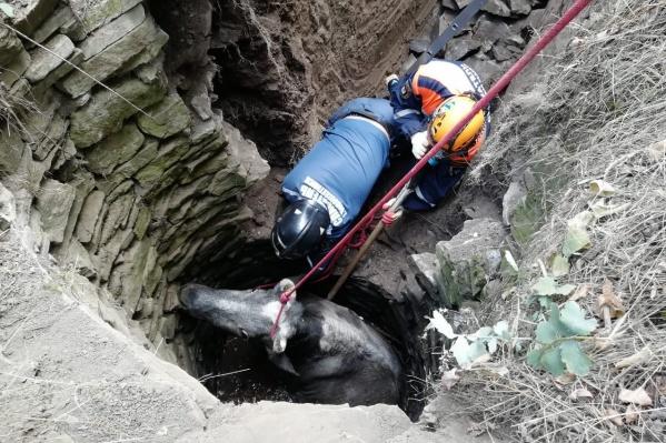 Для того, чтобы вытащить животное, организовали целую спасательную операцию