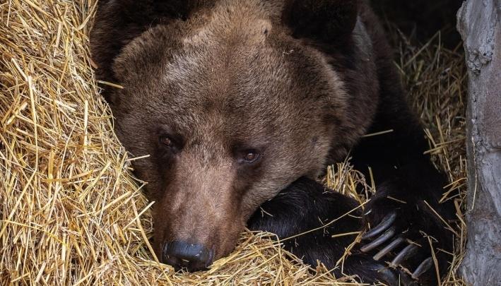 На «Столбах» предсказали ранний уход медведей в спячку