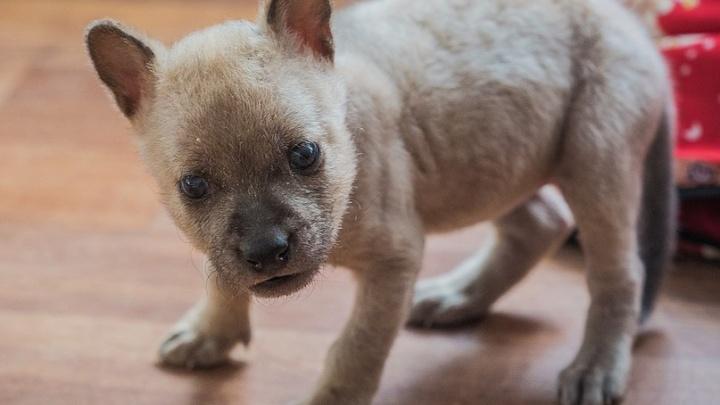 Милый крохотный щенок родился у пары красных волков из зоопарка