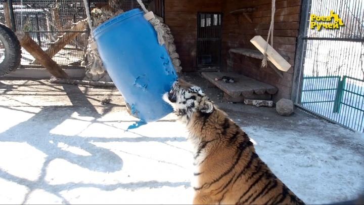 Игры суровой красавицы-тигрицы засняли в красноярском зоопарке