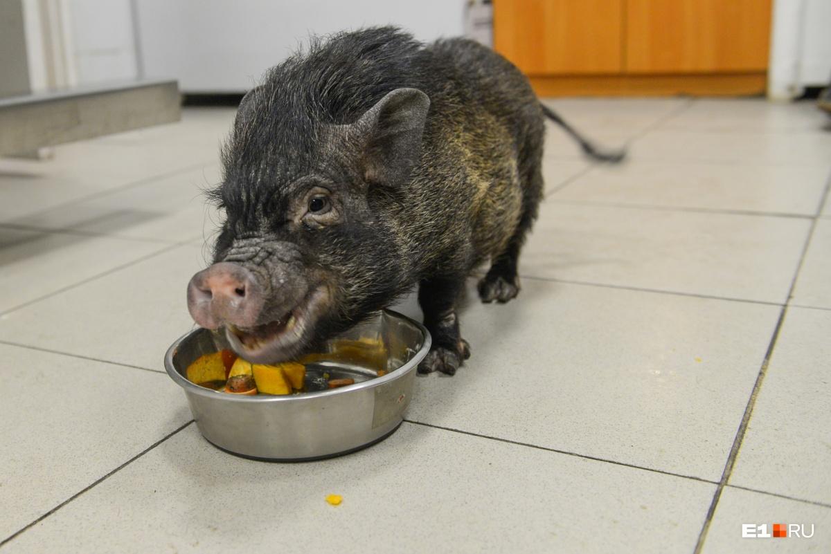 Свинка может есть всё и в любых количествах, поэтому её надо держать на диете