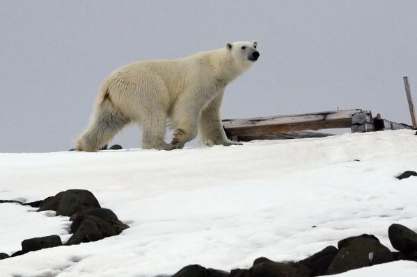 В южной части арктических островов ввели режим ЧС из-за нашествия белых медведей