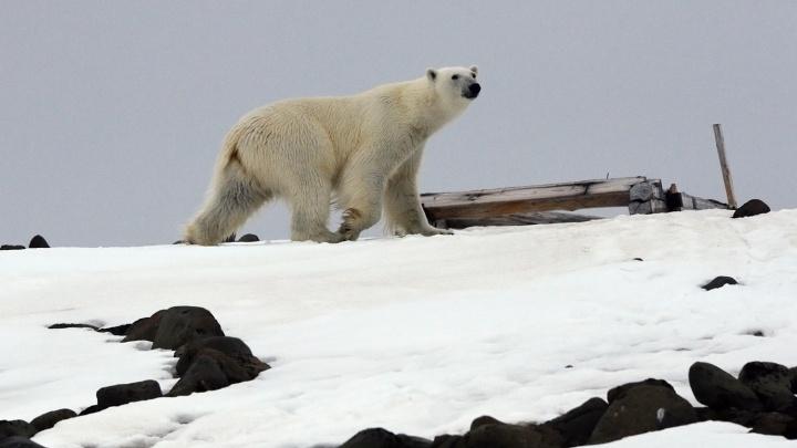 «Увидел зверя — кинь варежку»: поселок Новой земли осадили белые медведи — они даже заходят в дома