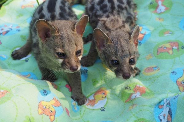 Генеты в красноярском зоопарке прекрасно плодятся