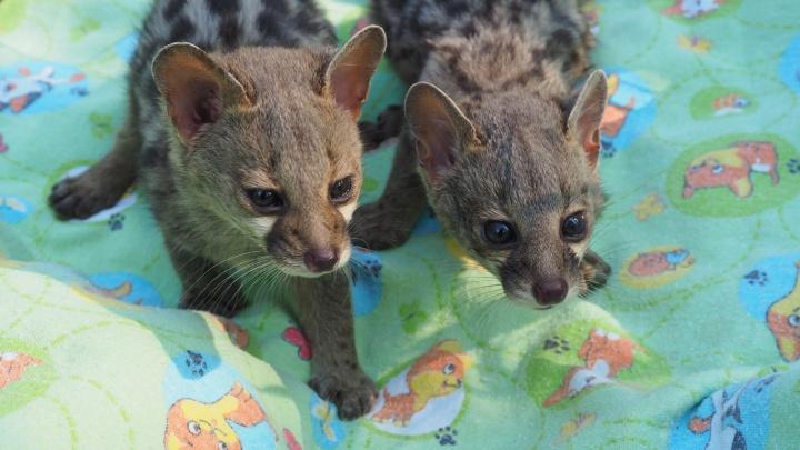 У кошачьих генет в «Роевом ручье» родились щенки. Они смешно пищат и кушают из бутылочки