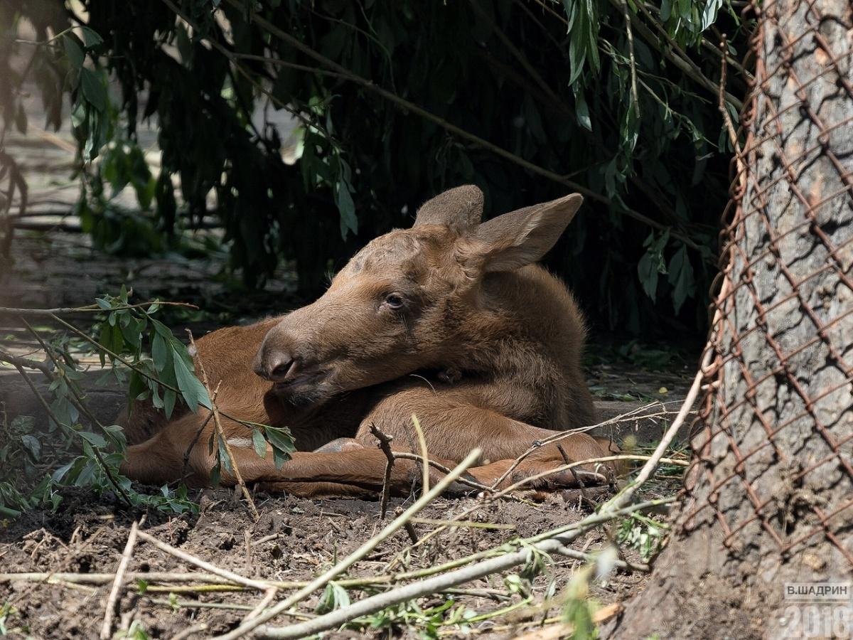 Двойня родилась у лосей 5 июня, некоторое время после рождения лосята были в укрытии