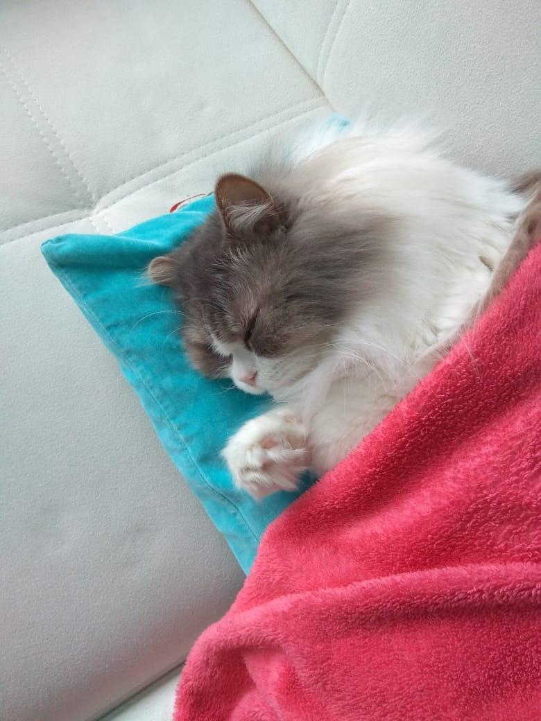 Кот очень мёрзнет, с удовольствием лежит под пледом, а без него — только с обогревателем