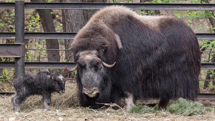Маленький теленок родился у овцебыков в Новосибирском зоопарке