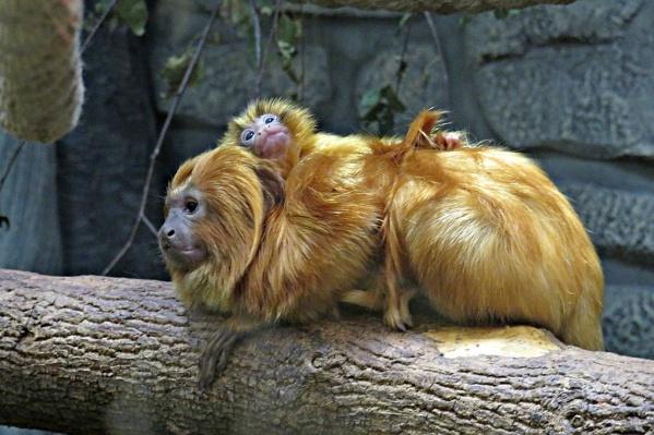 Малыш у золотистых львиных тамаринов родился недавно и пока передвигается только на спине у своих родителей