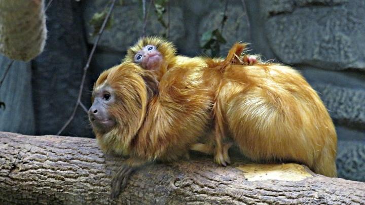 Лемуры и обезьянки из новосибирского зоопарка показали своих малышей