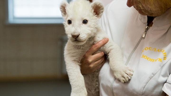 Ярославцам предложили придумать имя белому львёнку, чья мама погибла при родах