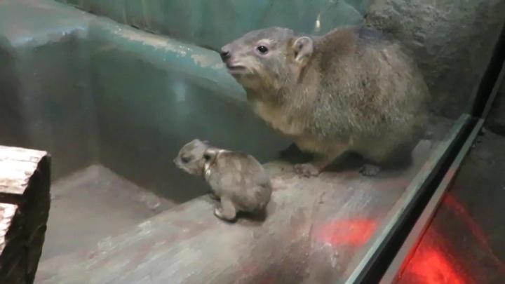 У ближайшей родни слонов в Новосибирском зоопарке родился детёныш